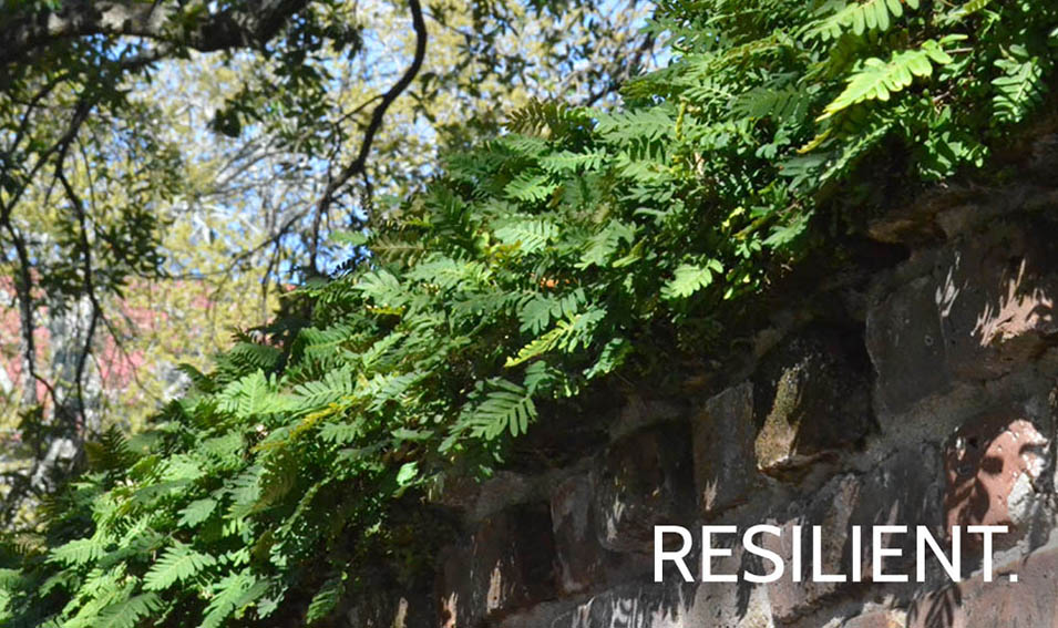 RESILIENT_RESURRECTIONFERN
